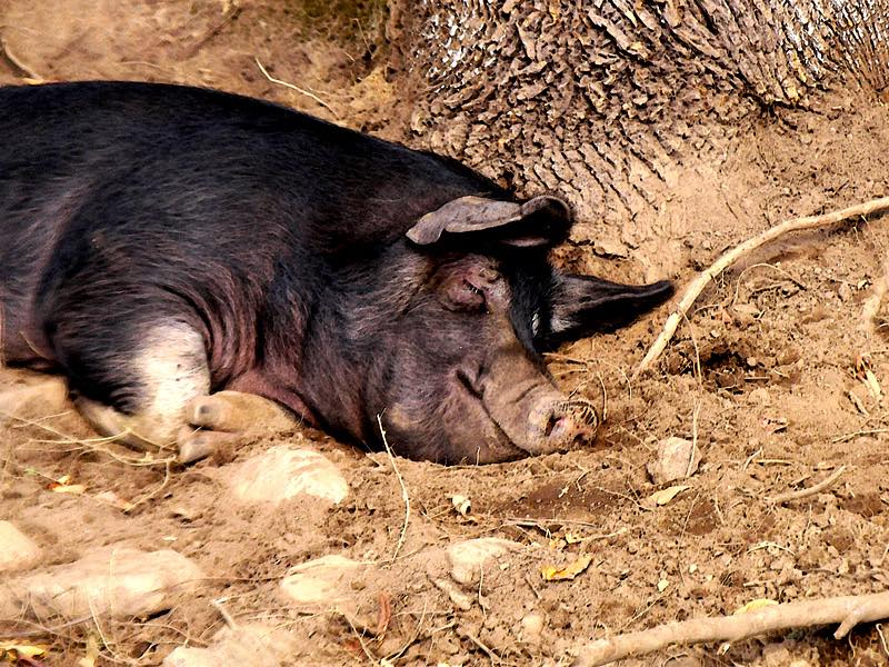 New USDA report says more hogs now, but fewer later