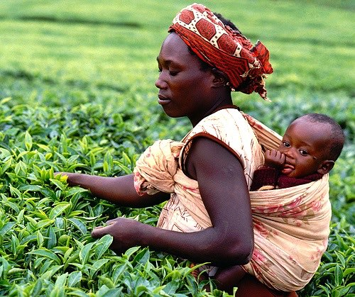 The Ethical Tea Partnership links with Fairtrade