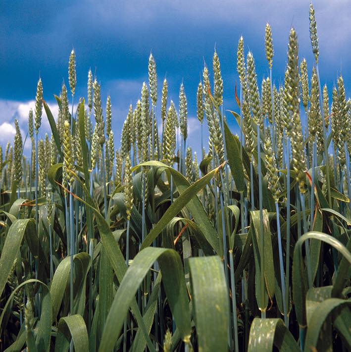 BASF and Monsanto add wheat to plant biotechnology pipeline
