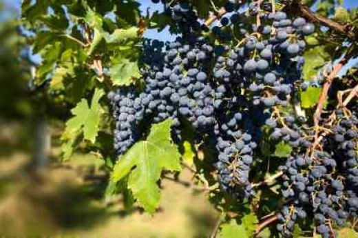 National Grape Co-op completes smaller than average harvest