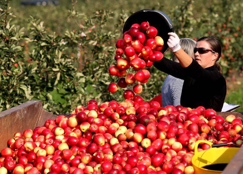 Britain's cider harvest is under way a month early