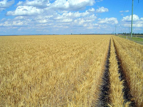 Bayer CropScience achieves milestone in wheat research