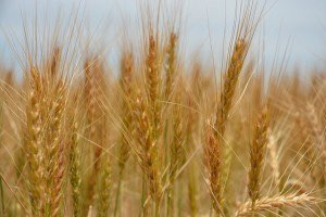 Wheat field. Photo by AgriLife Today, Flickr Creative Commons.