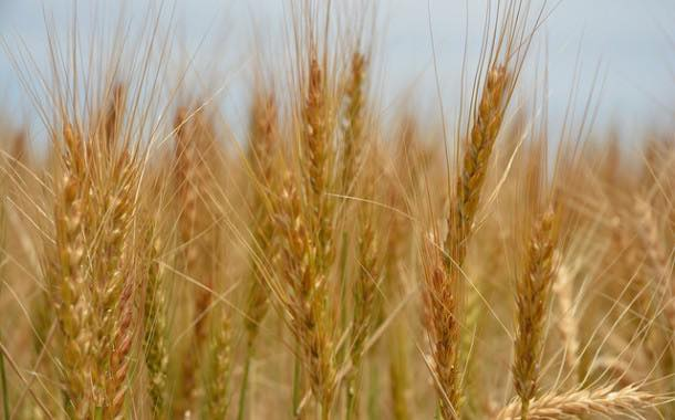 NFU predicts wheat yield for UK harvest to be a record high