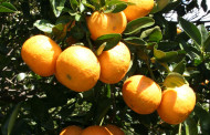 Growers optimistic about Florida grapefruit yields
