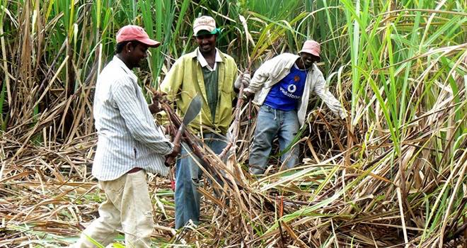 Fairtrade Foundation warns sugar price drop could push 200,000 into poverty