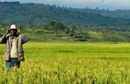 FAO unveils initiative to address supply gap in Africa's rice demands