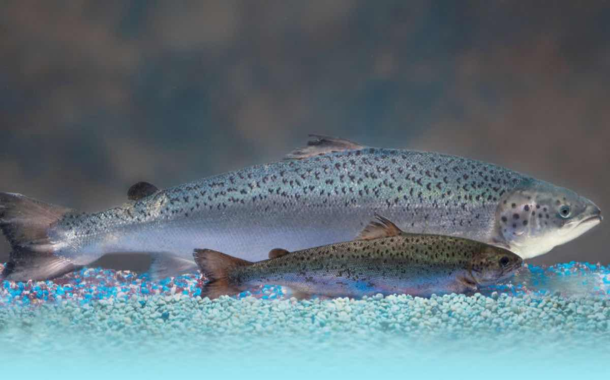 US authorities lift import ban on genetically engineered salmon