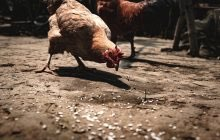 Atria plans 130m euro investment to expand poultry production