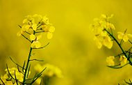 Cargill introduces low saturated fat hybrid canola oil
