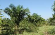 Unilever aims to boost output of sustainable palm oil in Indonesia