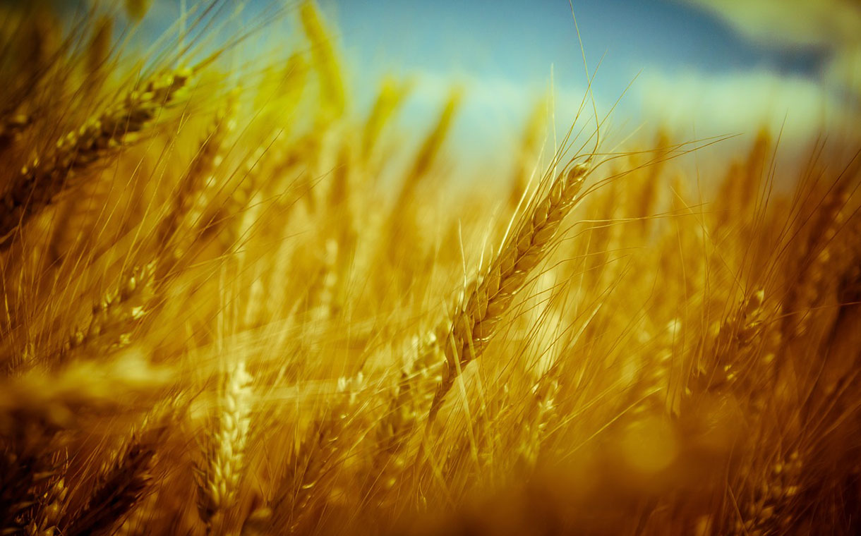 Mondelēz expands its Harmony wheat sustainability scheme