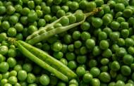 Cosucra to open new pea processing plant in Denmark