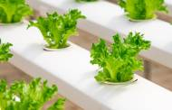 JD.com and Mitsubishi Chemical open hydroponic plant factory