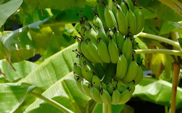 Researchers use banana plants to create eco-friendly packaging