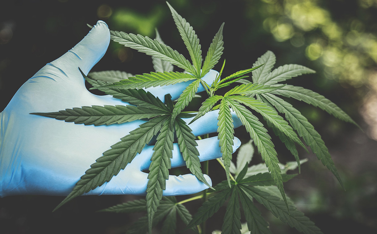 BevCanna buys cannabis genetics firm Carmanah to boost yields
