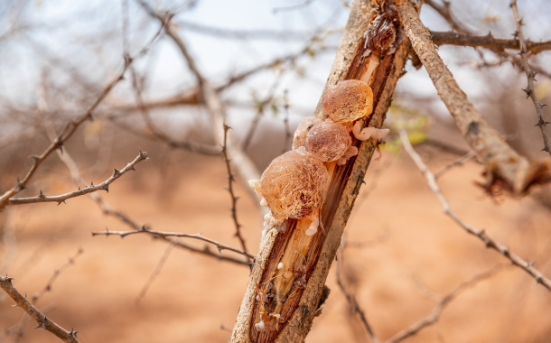 Acacia gum and its benefits on gut health
