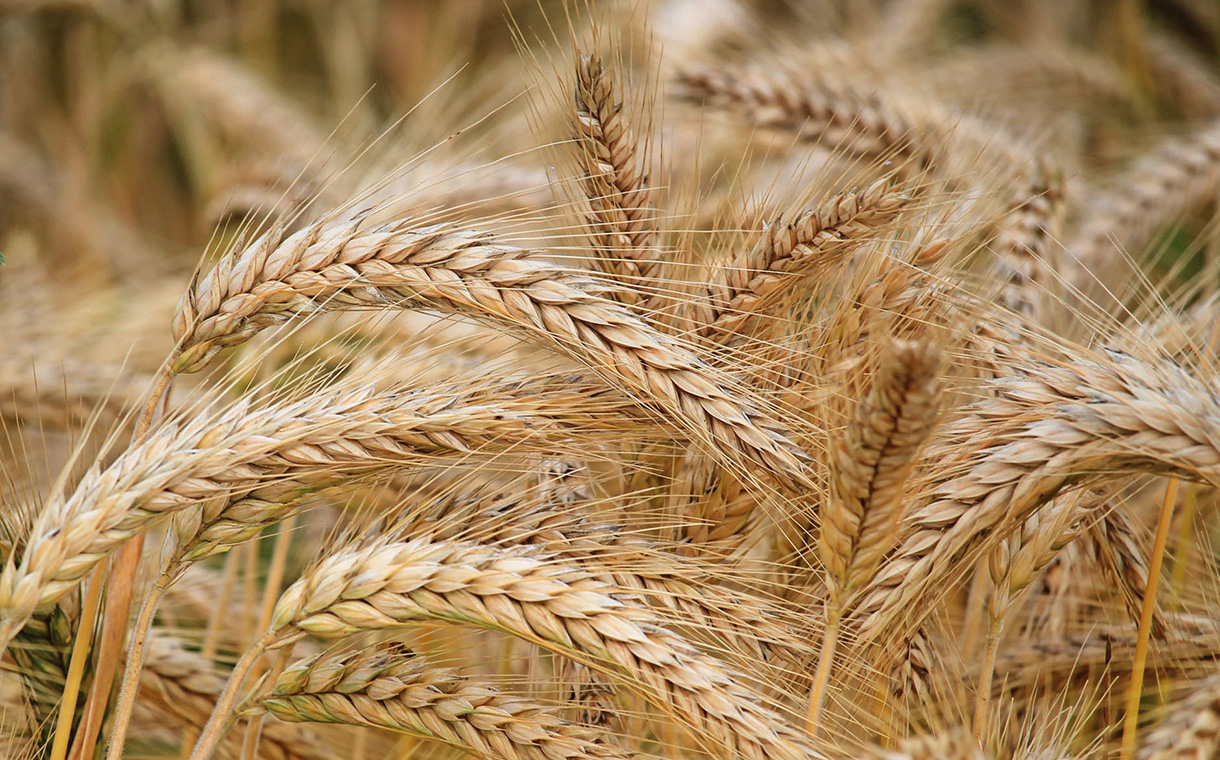 Summit Ag to invest $200m in North America's 'largest' wheat plant